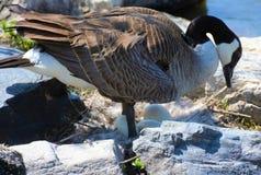 гнездй гусыни Канады Стоковое Изображение