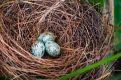 Гнездй и яичка птицы Стоковые Фотографии RF