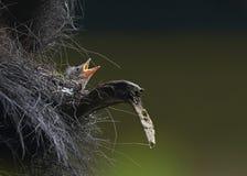 гнездй птицы младенца Стоковые Изображения RF