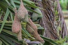 Гнездй птицы ткача Baya Стоковая Фотография RF