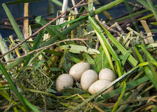 гнездй s птицы Стоковая Фотография