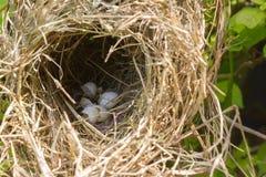 гнездй s птицы Стоковое Изображение RF