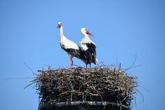 Гнездо аиста с 2 аистами Стоковые Фото