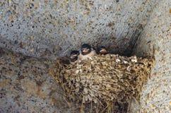 Гнездо ` ласточек Стоковые Изображения