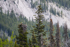 Гнездо белоголового орлана Стоковая Фотография