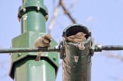 Гнездо воробья Стоковые Фото