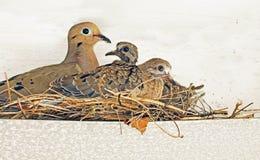 Гнездо голубя Стоковая Фотография RF