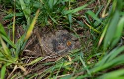 Гнездо жаворонка с маленькими пташками Стоковые Изображения