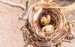 Гнездо заполненное с яичками птицы Стоковые Изображения RF