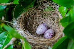 Гнездо заполненное с 2 яичками птицы Стоковые Фотографии RF