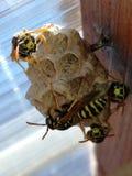 Гнездо засорителя Стоковая Фотография RF