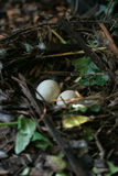Гнездо и яичка Стоковые Изображения