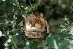 Гнездо колибри с яичками Стоковые Фото
