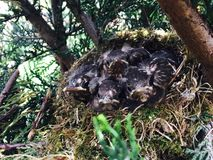 Гнездо кукушк!! Стоковые Изображения RF