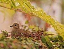 Гнездо матери голубя Стоковое Изображение