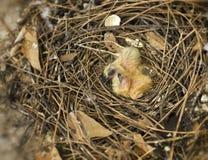 Гнездо молочницы с малыми младенцами Стоковые Фотографии RF