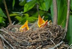 Гнездо молочницы 11 Стоковая Фотография RF