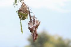Гнездо муравьев сделанное путем соединять совместно выходит дерева Стоковое Фото