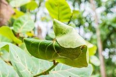Гнездо муравьев сделанное путем соединять совместно зеленые листья дерева Стоковое Изображение