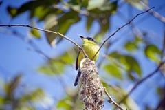 Гнездо общей tody-мухоловки или, который черно-противостоят tody-мухоловки Стоковая Фотография