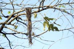 Гнездо общей tody-мухоловки Стоковое Изображение