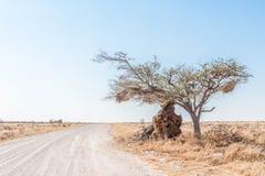 Гнездо общительного ткача сломало ветвь дерева Стоковые Фото