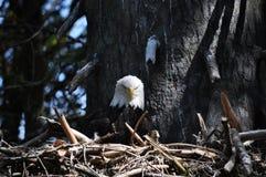 Гнездо орла стоковые фотографии rf