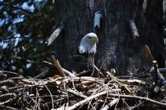 Гнездо 2 орла стоковое фото