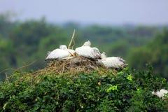 Гнездо пеликана Стоковая Фотография