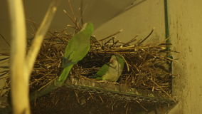 Гнездо попугаев видеоматериал