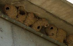 Гнездо птицы ласточки дерева глины грязи Стоковое Изображение