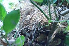 Гнездо птицы на дереве лимона в саде Стоковые Изображения