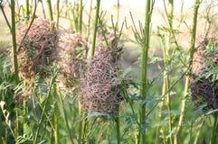 Гнездо птицы на дереве sesbania Стоковые Изображения