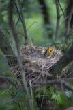 Гнездо птицы с цыпленоками в дереве Стоковое фото RF