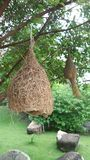 Гнездо птицы ткача на дереве Стоковое фото RF