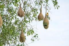 Гнездо птицы ткача Стоковое Изображение