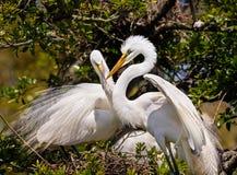 Гнездо строения Egrets Стоковое фото RF