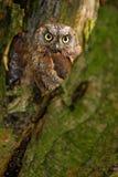 Гнездо сыча в дереве Общий сыч Scops, scops Otus, маленький сыч в среду обитания природы, сидя на зеленой елевой ветви дерева, дл Стоковое Изображение RF