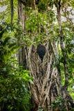 Гнездо термита в баньяне Стоковые Изображения