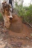 Гнездо термитов в лесе западной Австралии Boranup Стоковая Фотография