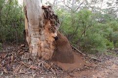 Гнездо термитов в лесе западной Австралии Boranup Стоковая Фотография RF