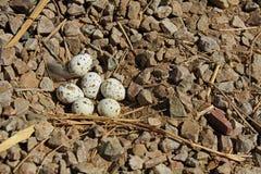 Гнездо триперсток Gambel's с 6 яичками Стоковая Фотография RF