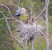 Гнездо цапли большой сини с детенышами Стоковое Изображение RF