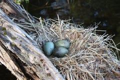 Гнездо чаек Стоковое Изображение