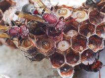 Гнездо шершня зародыша Стоковое Фото