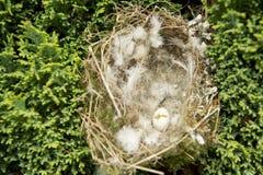 Гнездо Greenfinch европейца (хлориды щегла) атакованное сорокой с сломленным яичком Стоковые Фото