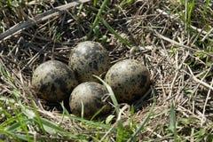 Гнездо lapwing Стоковые Фотографии RF