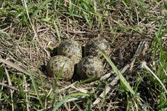 Гнездо lapwing Стоковое Изображение