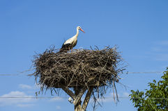 Гнездо ` s аиста, естественное гнездо ` s аиста, щенята и ` s аиста гнездятся, изображения аиста на крыше, Стоковые Фотографии RF