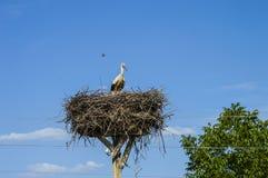 Гнездо ` s аиста, естественное гнездо ` s аиста, щенята и ` s аиста гнездятся, изображения аиста на крыше, Стоковые Фото